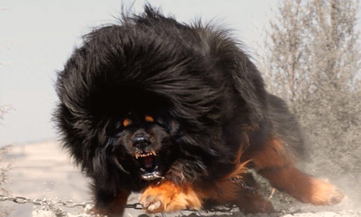 Cute Husky Wallpaper Hd World S Top 10 Most Dangerous Dog Breeds Youtube