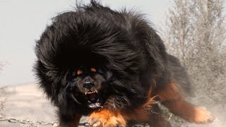 World's Top 10 Most Dangerous Dog Breeds