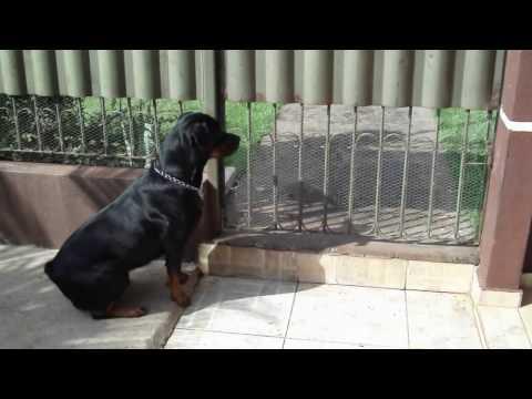 Rottweiler fazendo guarda