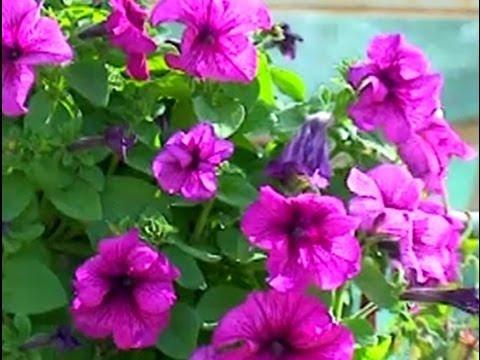 Hobi Bahçeciliği Balkon Ve Teras çiçek Ve Bitkileri 4 Bölüm