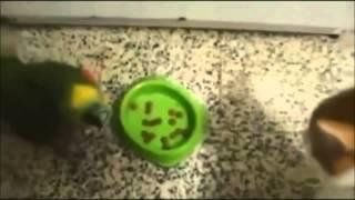 Смешное видео Кот и попугай. Попугай хамит коту.
