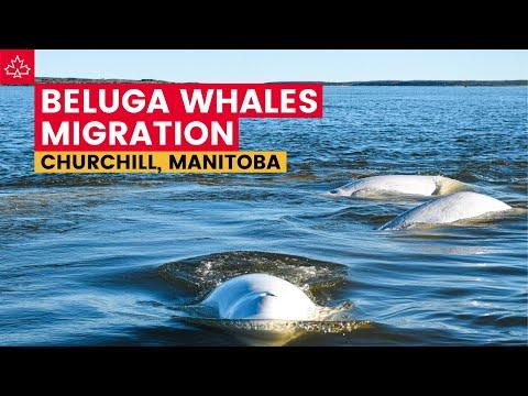 Schools of Beluga Whales in Churchill, Manitoba