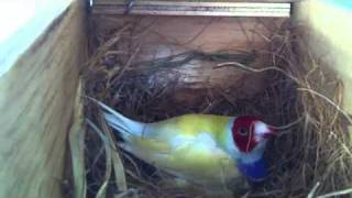 gouldian finches sitting on eggs
