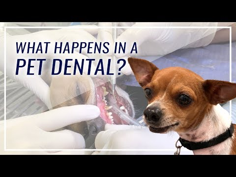 What Happens During A Pet Dental?