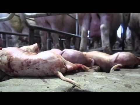 isb208L Animal Husbandry Video