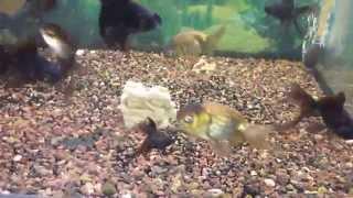 Золотые рыбки, телескоп в аквариуме