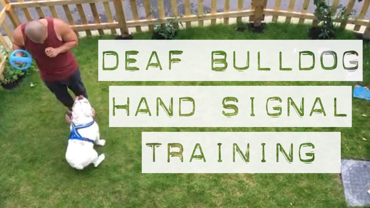Using The Ball To Teach Deaf Dog Hand Signals English Bulldog