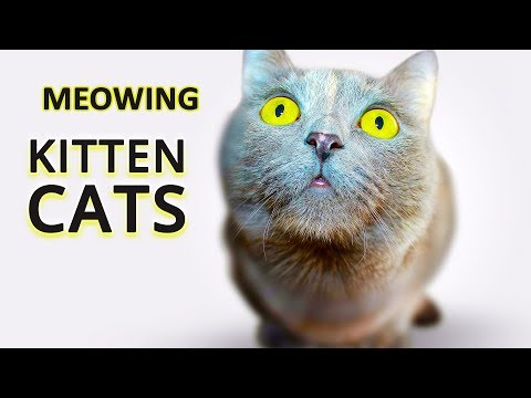 😸🐈 Top 21 Funny Cats and Kittens Meowing - Make Your Cat or Dog Watch This