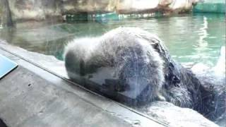 9 hour old sea otter pup at Seattle Aquarium