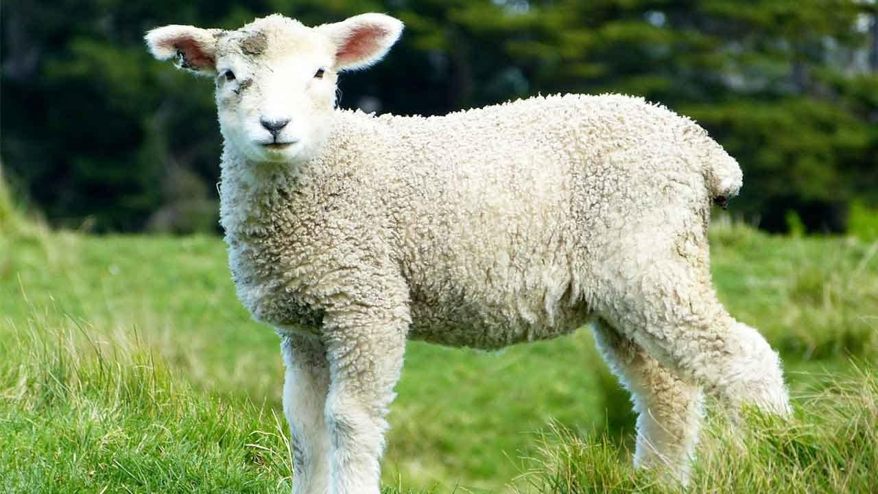 Sheep for Kids - Great Collection of Cute Lamb Videos for ...