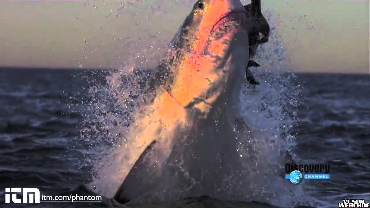 Hd Great White Shark Wallpaper Requin Blanc Saute Au Ralenti Hd Youtube