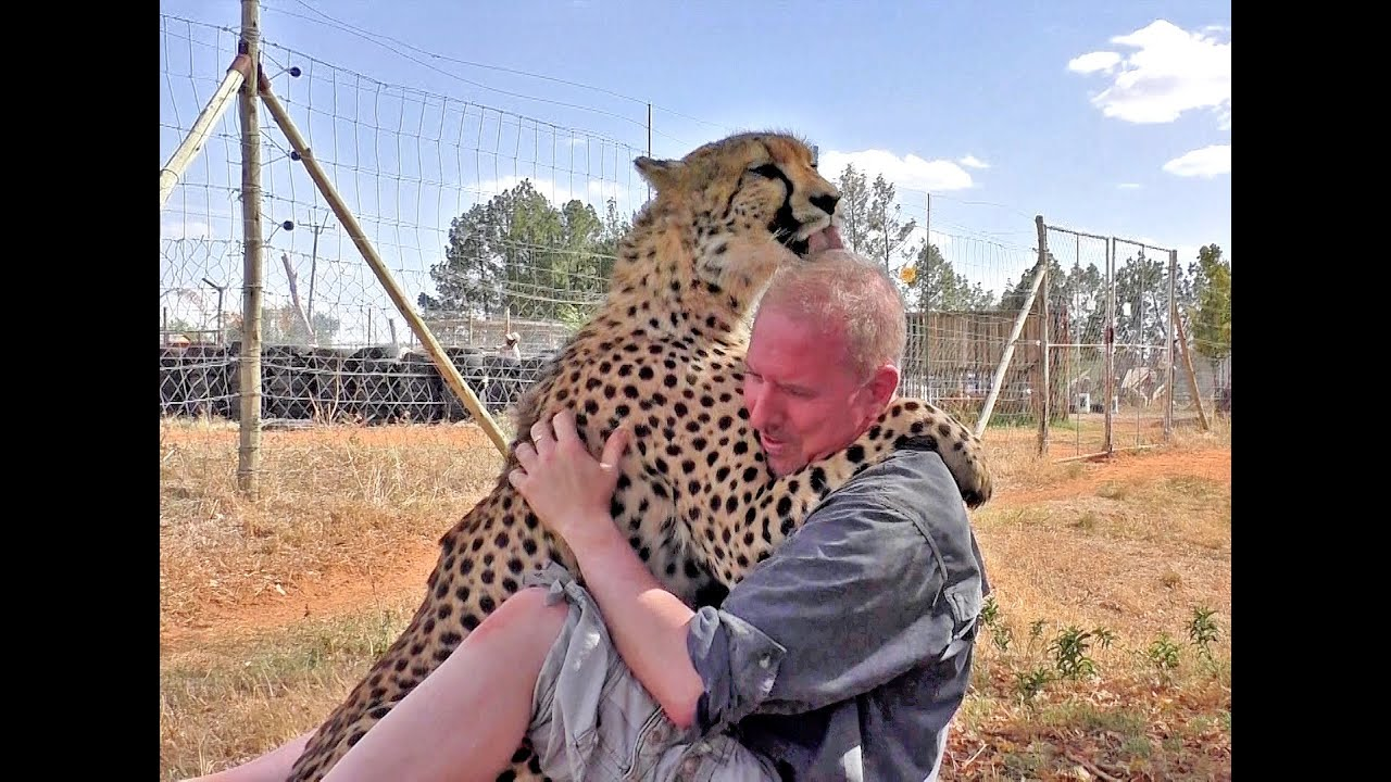 Man Reunites With African Cheetah 2nd Time | Do Big Cats Remember You | Love Hugs & Kisses