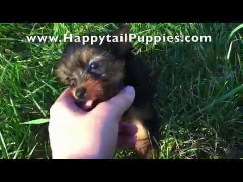Max, The Teacup Yorkie Puppy For Sale In Raleigh NC!