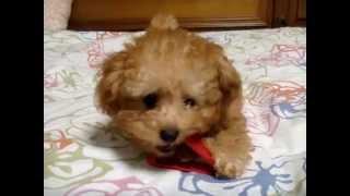 まだ700gの仔犬です。tea cup poodle caniche.