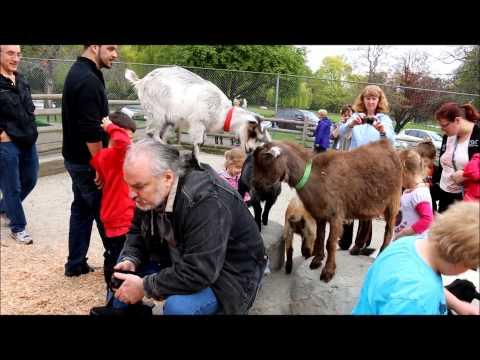 Goats on my Back. Beacon Hill Park.