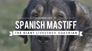 SPANISH MASTIFF: THE LARGEST DOG BREED YOU DIDN'T  KNOW EXISTED