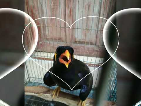 Masteran Burung Beo Agar Cepat Ngomong/Berbicara