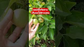 เมียฝรั่งพาเก็บแอปเปิ้ลริมทาง/ชีวิตในอเมริกา/ต่างประเทศ