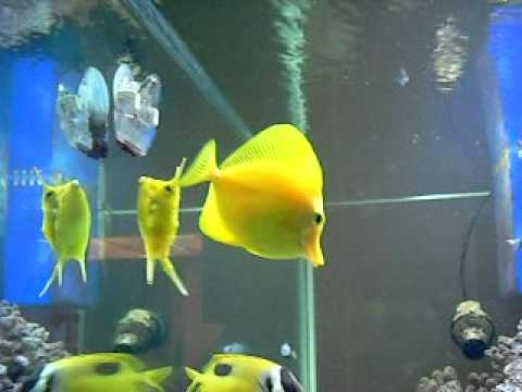 My Cowfish, Foxface, Yellow Tang, Blue Tang, and 2 Heniocus eating seaweed!