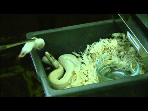 Ball Python Feeding Frozen 103