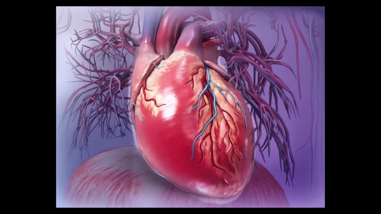 Visible Body | Virtual 3D Heart Dissection with Human Anatomy Atlas ...