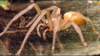 Быстро бегают, а при нападении прыгают: на Уфу наступают ядовитые желтые пауки