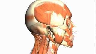 Skull tutorial (1) - Bones of the Calvaria - Anatomy Tutorial PART 1