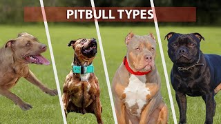 Types of PITBULL Breeds that are Popular Today  Pitbull Types 2021