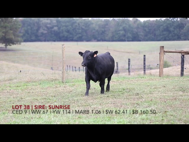 Edgewood Angus Lot 38