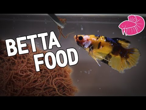Live Fish Food - California Blackworms Culture For My Bettas!