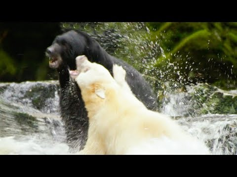 White Mother Bear Fights Against Bigger Male For Territory | Natural World: Ghost Bear | BBC Earth