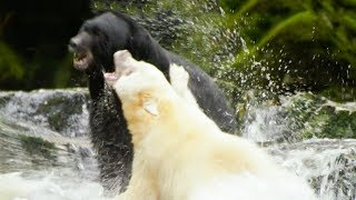 White Mother Bear Fights Against Bigger Male For Territory | Natura World: Ghost Bear | BBC Earth