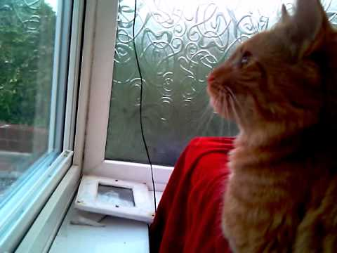 douglas the manx cat speaking
