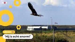 Grootste roofvogel van Europa vliegt boven Nederland