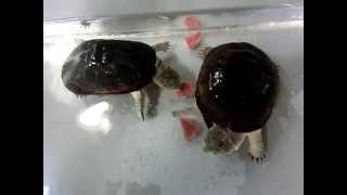ヒメハコヨコクビガメ 食事