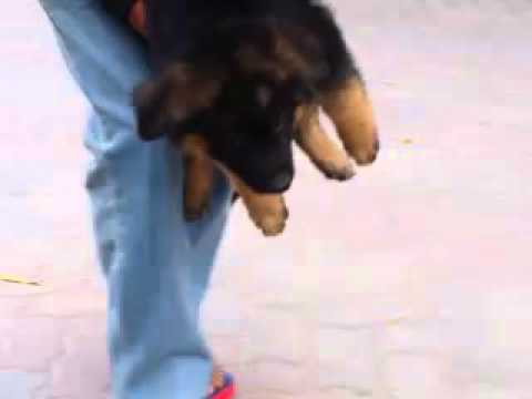 Gsd puppies in pakistan
