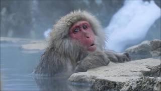 「温泉に入る野生のニホンザル」を間近で観察できることで、外国人観光...