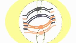 Las fases de la meiosis