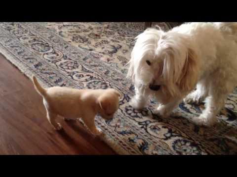 havanese-vs-mix-yorkie-and-chihuahua