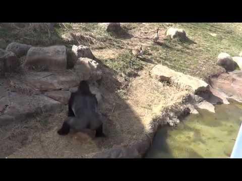 Barney the gorilla vs. Goose