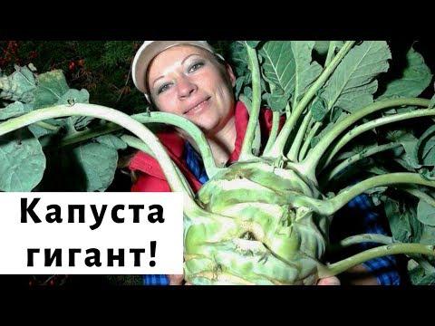 Капуста кольраби: сорта, посев, выращивание и уход