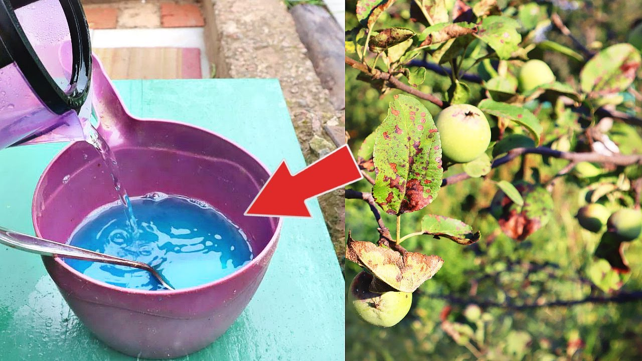 Если яблоня заразилась паршой в июле августе срочно обработайте этим спасете 100 %урожая