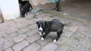 Rescue Pups - Pittie Lab Rottie Terrier Mix?