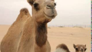 Dromedary Camel Facts - Facts About Dromedary Camels