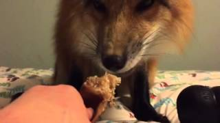 Fox eating pig ear.
