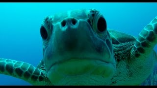 Sea Turtle Tries To Eat Gopro Camera