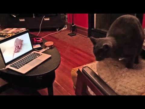 Cat Pornography: Cat Gets Caught...watching Kitty Porn! from YouTube · Duration:  47 seconds
