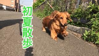 ミニチュアダックス ココちゃんと百合が原公園で散歩してきました。2歳...