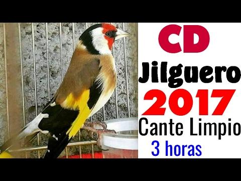 Canto del Jilguero CD Limpio 2017   Chant chardonneret 2017