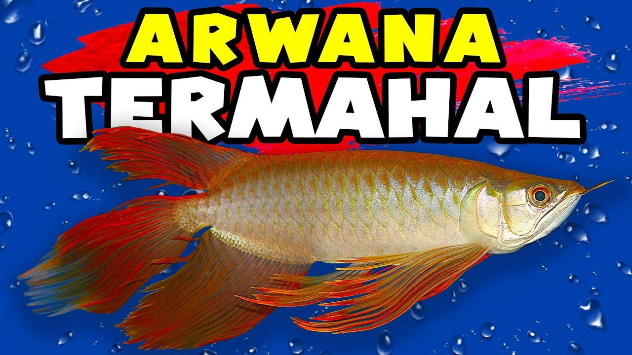 ARWANA2 TERMAHAL DI INDONESIA DAN DUNIA. ARWANA KELAS DUNIA